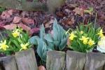 Mini żonkile i tulipany